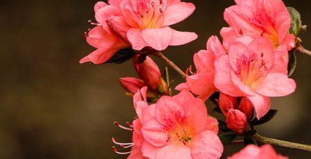 IMAGE OF PINK AZALEAS - VINYL DECK COLOUR OF THE YEAR - TUFDEK