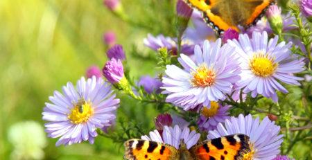 IMAGE OF BUTTERFLIES ON PURPLE FLOWERS