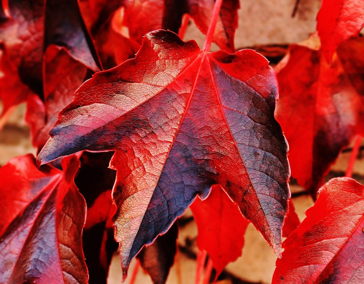 Fall image of red maple leafs - Tufdek